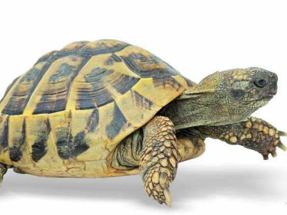 Turtle at finish line